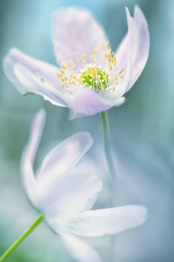 Drewnianego anemonu dzikiego kwiatu abstrakt fotografia royalty free