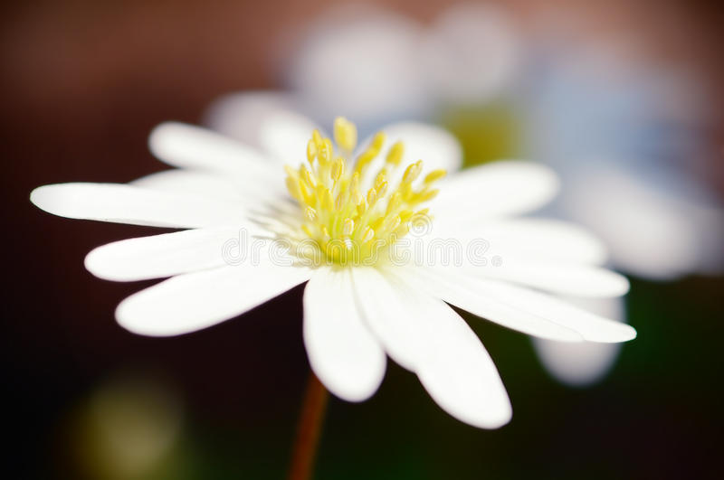 Drewnianego anemonu kwiatu stamen zbliżenie obraz stock