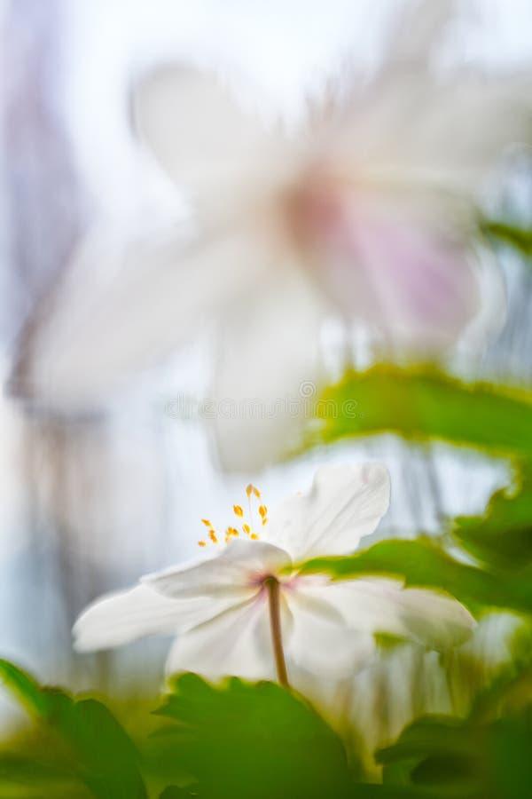 Drewnianego anemonu wiosny dzikiego kwiatu abstrakt zdjęcie royalty free