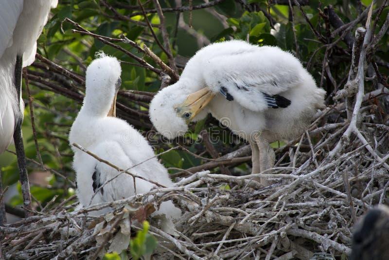 Drewnianego bociana gniazdowniki Preening na kija gniazdeczku w Floryda obrazy royalty free