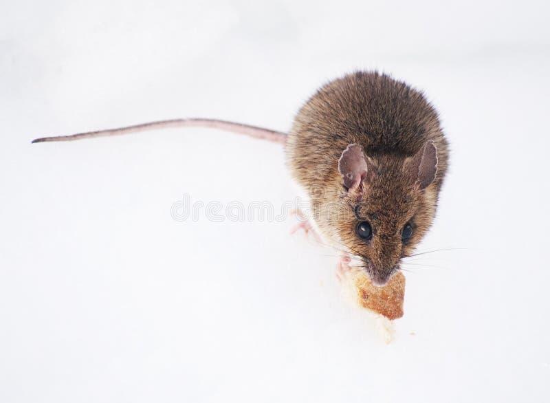 Drewnianej myszy łasowanie na śniegu w Retezat górach w wczesnej wiośnie, fotografia royalty free
