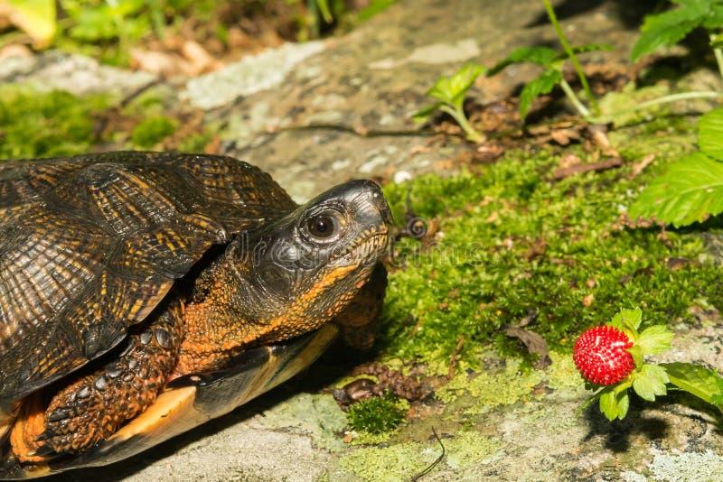 Drewniany żółw obraz royalty free
