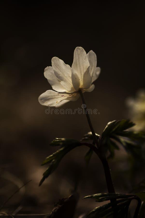 Drewniany anemon obrazy royalty free