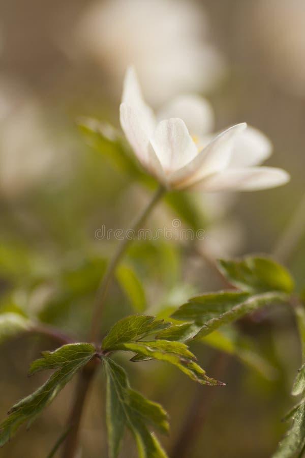Drewniany anemon obraz royalty free