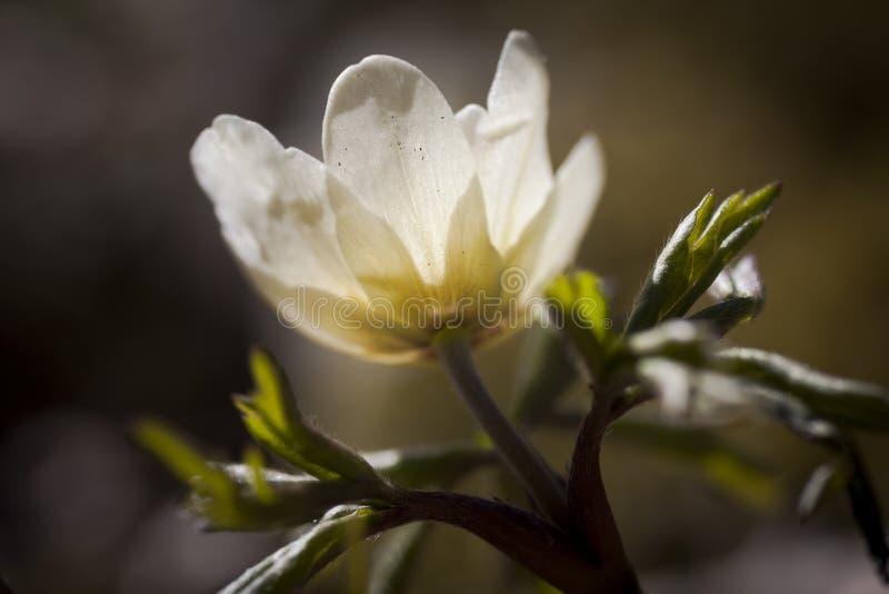 Drewniany anemon fotografia stock