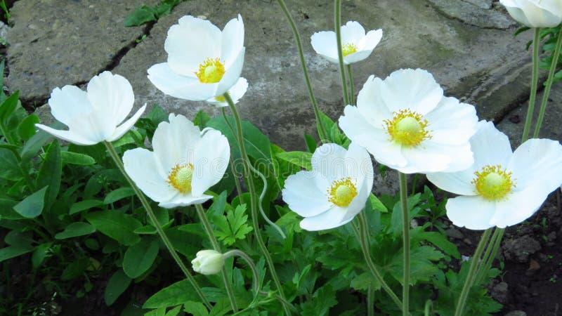 Drewniany anemon, Anemonowy nemorosa Piękni bielu ogródu kwiaty obrazy stock