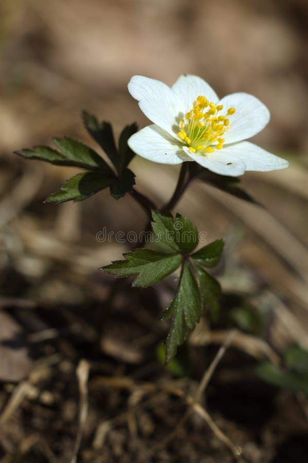 Drewniany anemonu kwiatu zako?czenia up/macro ma?y bia?y kwiat zdjęcie stock