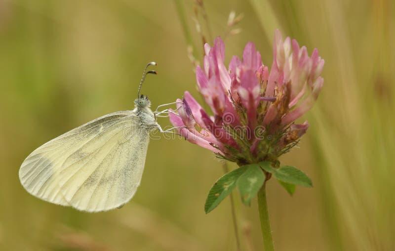 Drewniany Biały Leptidea sinapis nasz daintiest motyle z jeden wolni i delikatni loty wszystkie Brytyjscy gatunki obraz stock