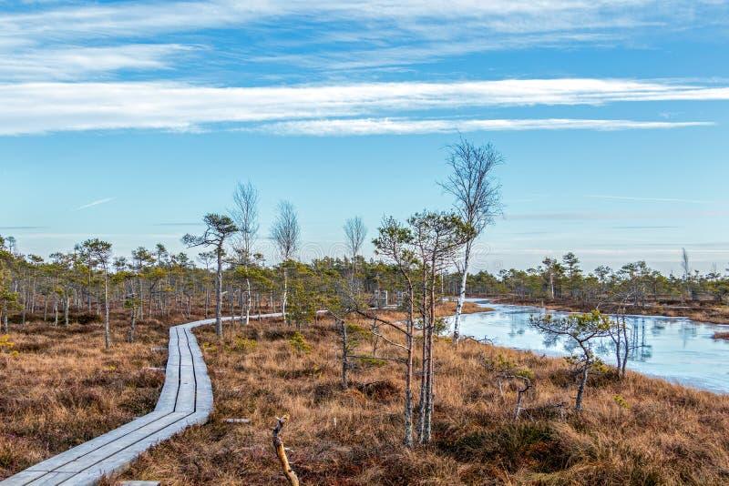 Drewniany footpath na bagnie z jesienią barwił flory Kemeri bagna Wielki bagna w Kemeri parku narodowym, Jurmala, Latvia, zdjęcie stock