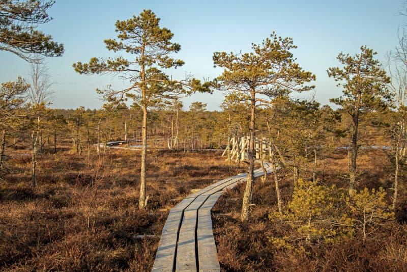 Drewniany footpath na bagnie z jesienią barwił flory przy zimą z pięknym wieczór słońca światłem przy złotą godziną zdjęcie royalty free