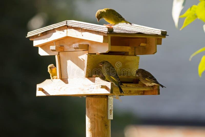 Drewniany ptasi dozownik z europejczyka Greenfinch ptakiem w żółtej zieleni zdjęcie stock