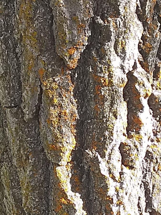 Drewno korowatej tekstury brwi szary yellowish materia? zdjęcie stock