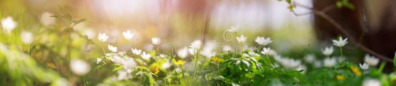 Drewno z piękną wiosną kwitnie przy zmierzchem zdjęcie stock