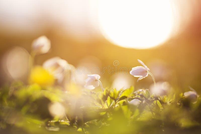 Drewno z piękną wiosną kwitnie przy zmierzchem zdjęcia stock