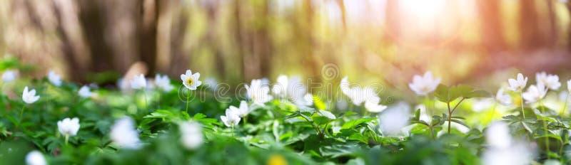 Drewno z udzia?ami bia?a wiosna kwitnie w s?onecznym dniu zdjęcia royalty free
