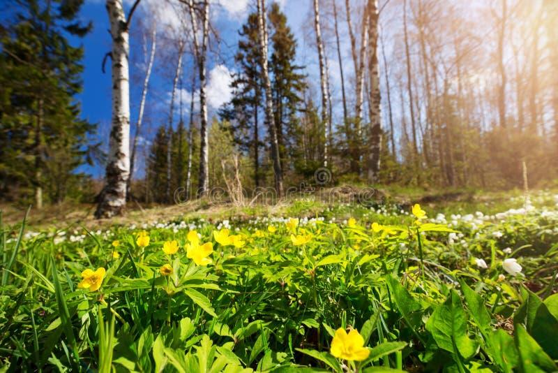 Drewno z wiosna kwiatami zdjęcie royalty free