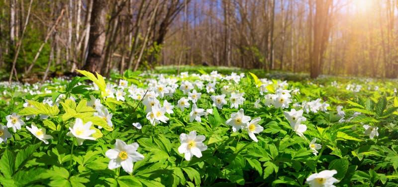Drewno z wiosna kwiatami fotografia royalty free