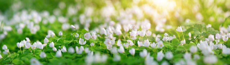 Drewno z wiosna kwiatami obraz stock