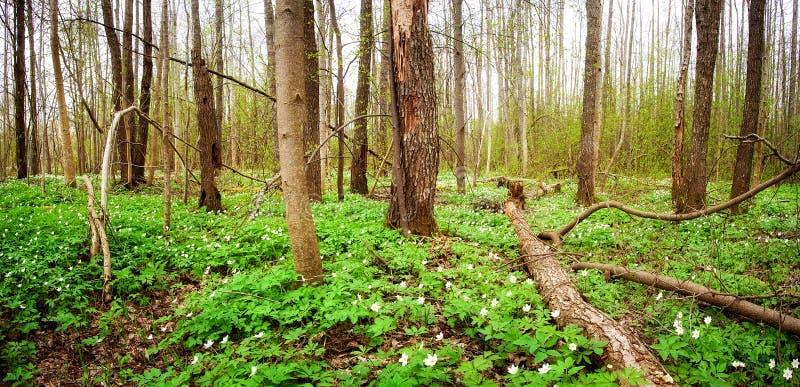 Drewno z wiosna kwiatami obrazy royalty free