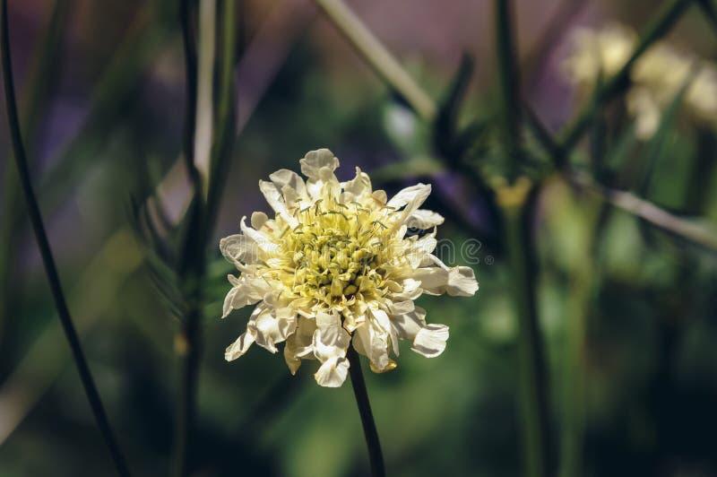 Driakiew kwiat w ogródzie fotografia stock