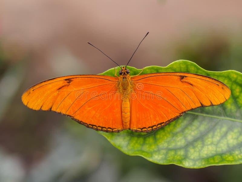 Drias Julia on leaf. Orange drias julia butterfly on a tropical leaf royalty free stock image