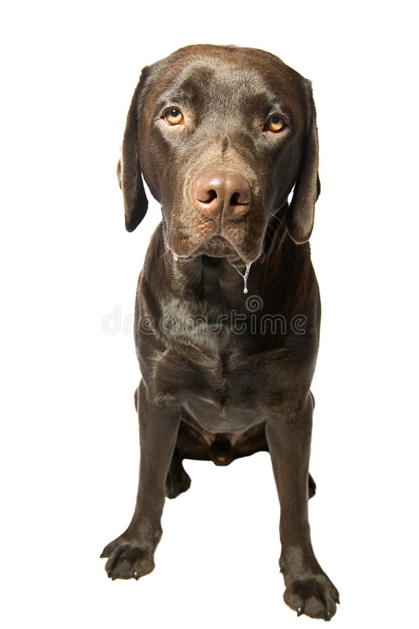 Download Dribbling Choccy Lab stock photo. Image of hungry, dribble - 7283328