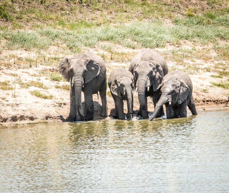 Dricka elefanter i den Kruger nationalparken, Sydafrika royaltyfria foton