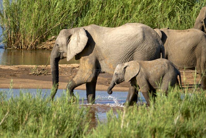 Dricka För Elefanter Arkivbilder