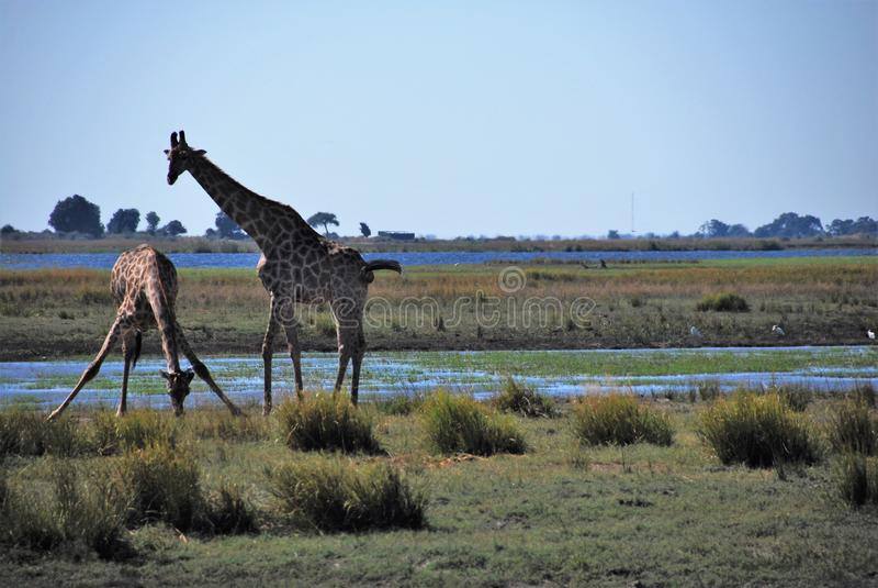 Dricka för giraff arkivbild