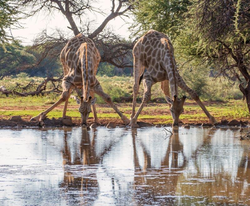 Dricka för två giraff arkivbild