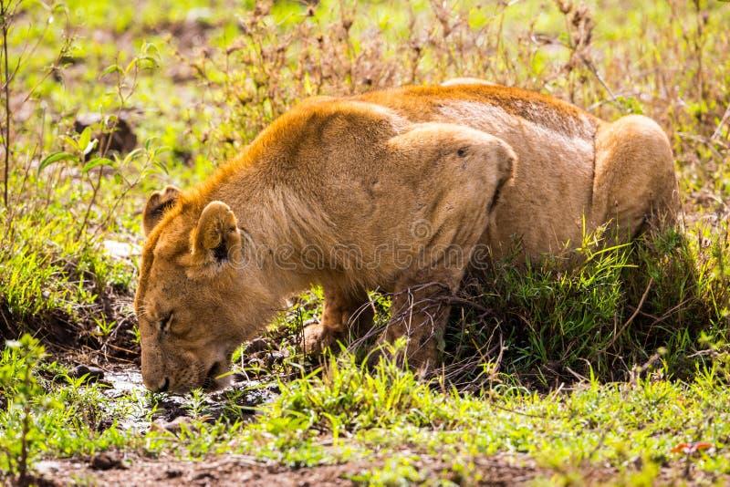 Dricka lion arkivfoton