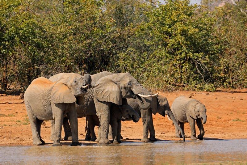 Dricksvatten för afrikanska elefanter - Kruger nationalpark fotografering för bildbyråer