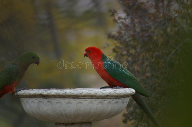 Dricksvatten för konung Parrots från ett fågelbad under en torka i en lantlig trädgård arkivfoton