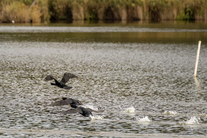 Drie aalscholversvlieg door het water op Meer Massaciuccoli, Toscanië, Italië royalty-vrije stock foto's