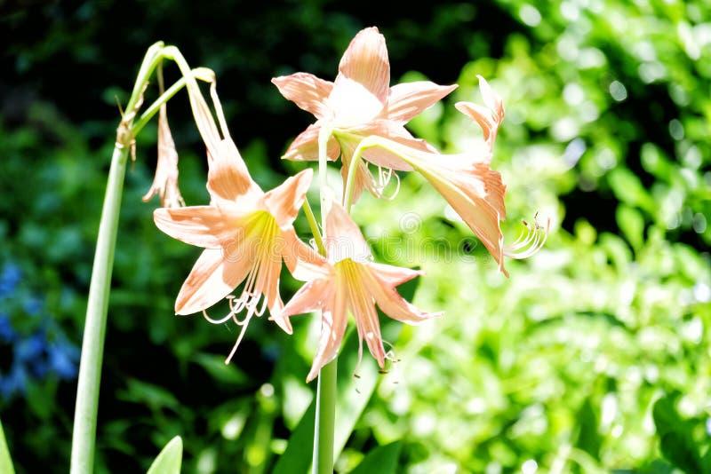 Drie Amaryllis-bloemen in de openluchttuin stock fotografie