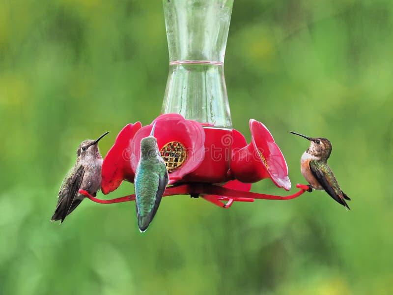 Drie Anna Hummingbird het voeden van de voeder stock fotografie
