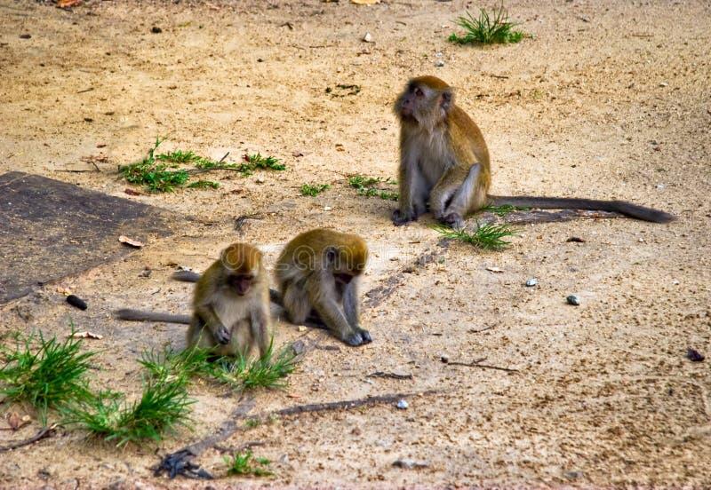 Drie apen royalty-vrije stock foto's
