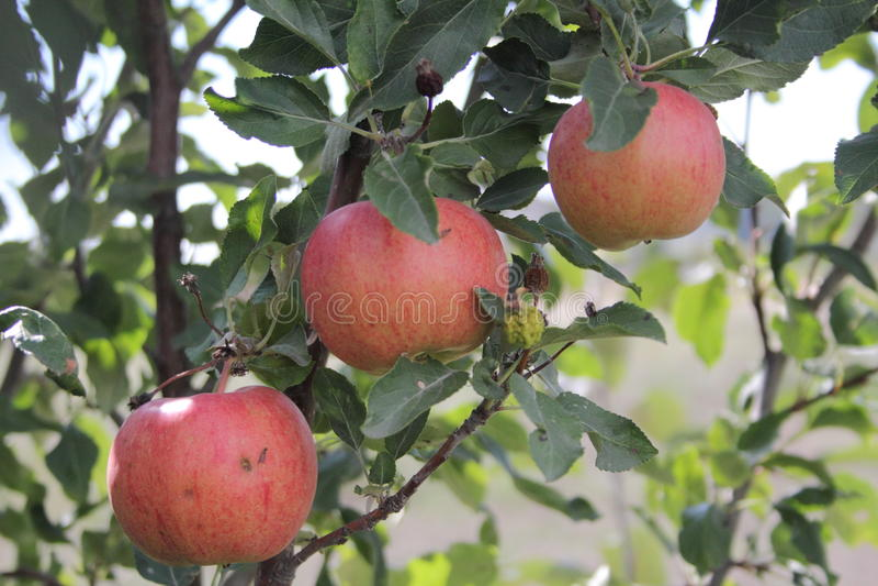 Drie appelen royalty-vrije stock foto