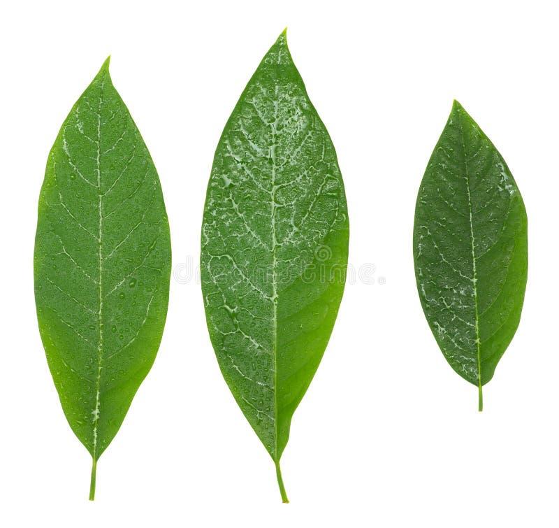 Drie avocado groene natte bladeren die over wit worden geïsoleerd royalty-vrije stock foto
