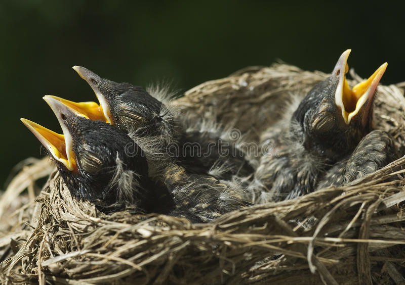 Drie Baby Robins in Nest royalty-vrije stock fotografie