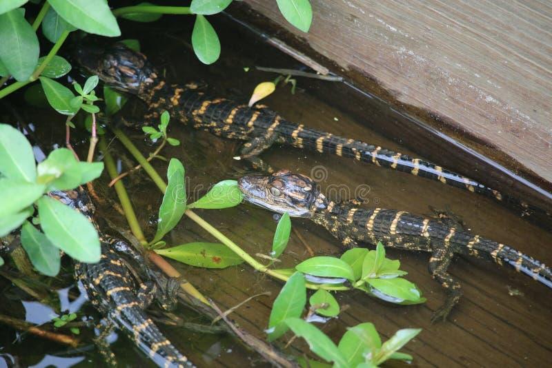 Drie Babyalligators stock afbeeldingen