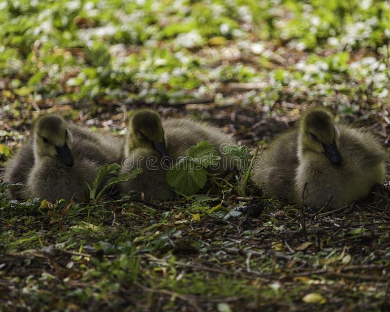 Drie babyganzen die in het gras slapen stock afbeelding