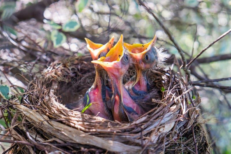 Drie babyvogels in een nest met bekken breed open wachten om Fe te zijn stock foto