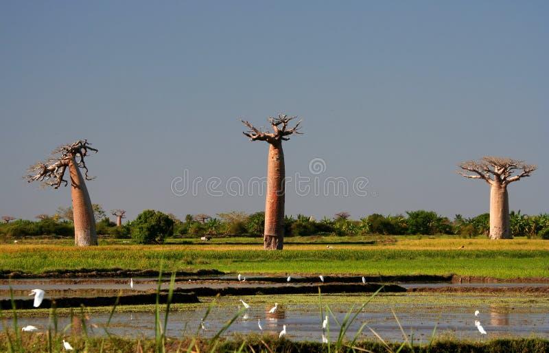 Drie baobabs stock fotografie