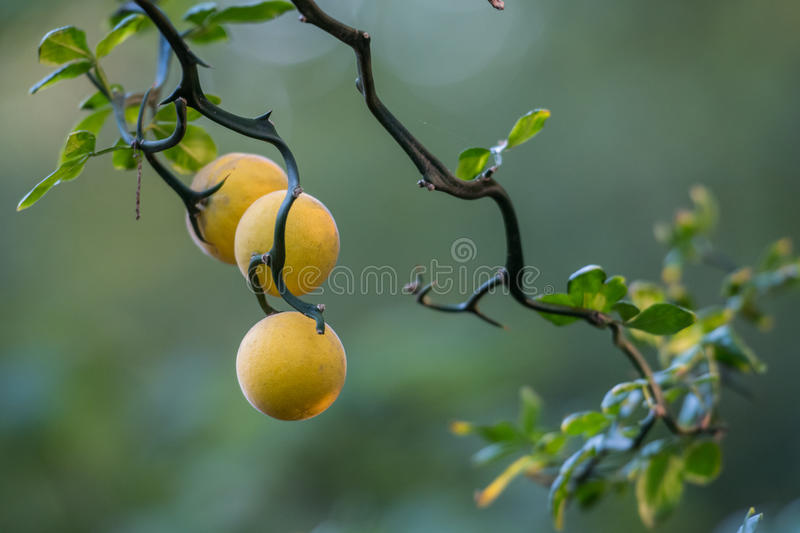 Drie Bittere Sinaasappelen op Thorn Covered Branches stock foto