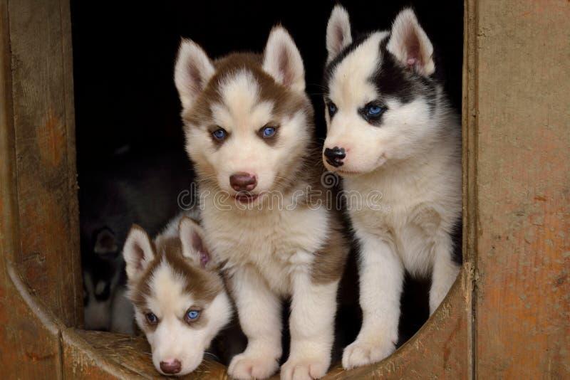 Drie blauw-eyed puppy stock afbeeldingen