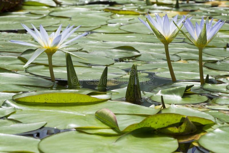 Drie Blauw Lotus van Egypte, Nymphaea Caerulea Waterlilies stock foto
