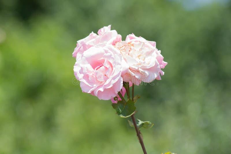 Drie bleke rozen royalty-vrije stock foto's