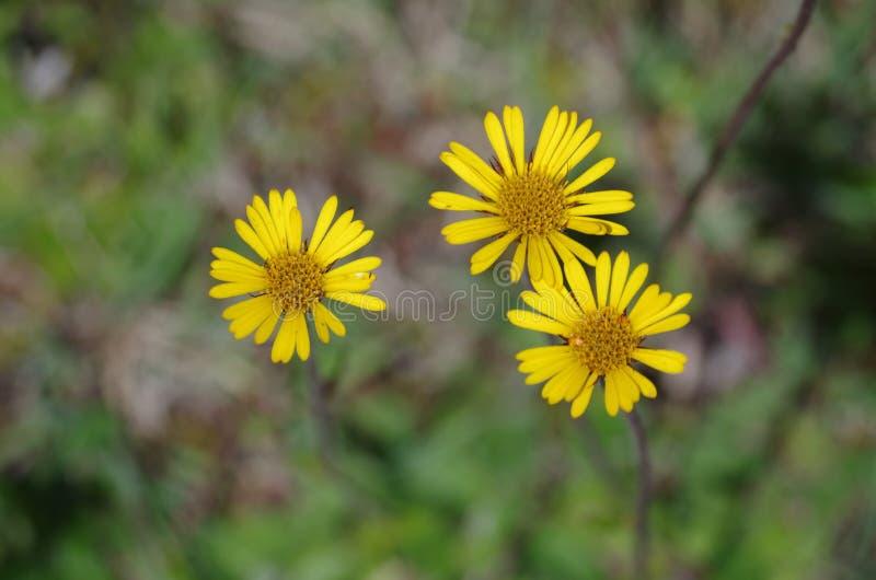 Drie bloemen op een berg stock afbeelding