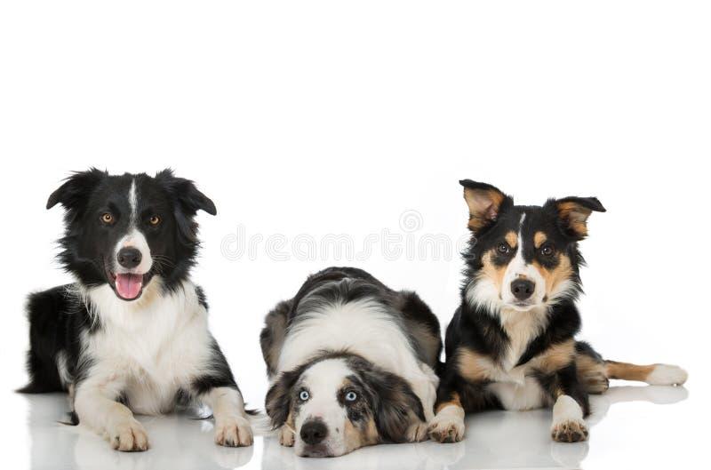 Drie border collie hond die op witte achtergrond liggen stock foto